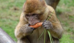mono comienzo zanahorias